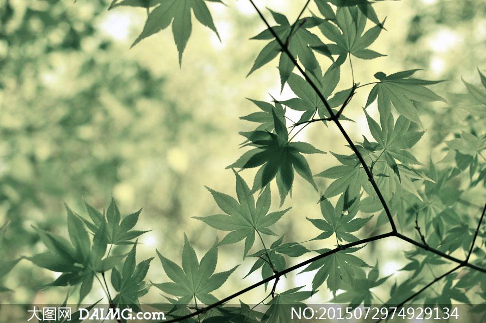 春夏绿叶树枝近景特写摄影高清图片 - 大图网设计素材