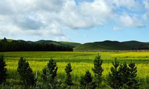草原上美丽的油菜花地摄影图片