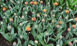 黑土地上的郁金香花卉摄影高清图片