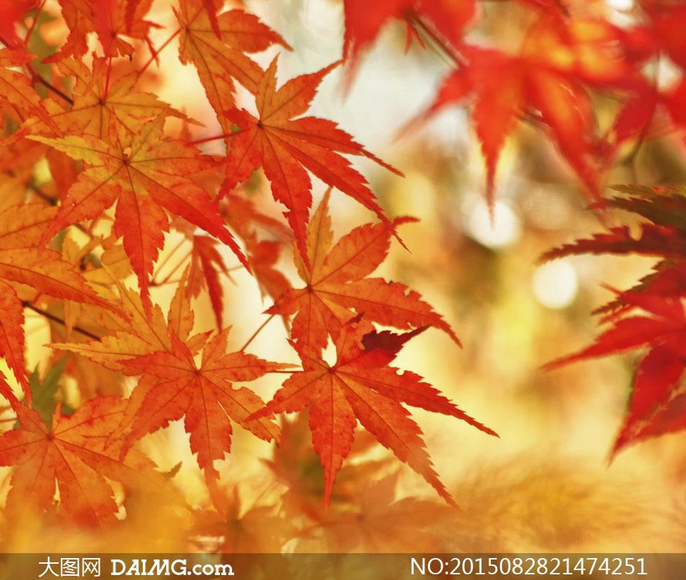 秋天红色树叶近景特写摄影高清图片