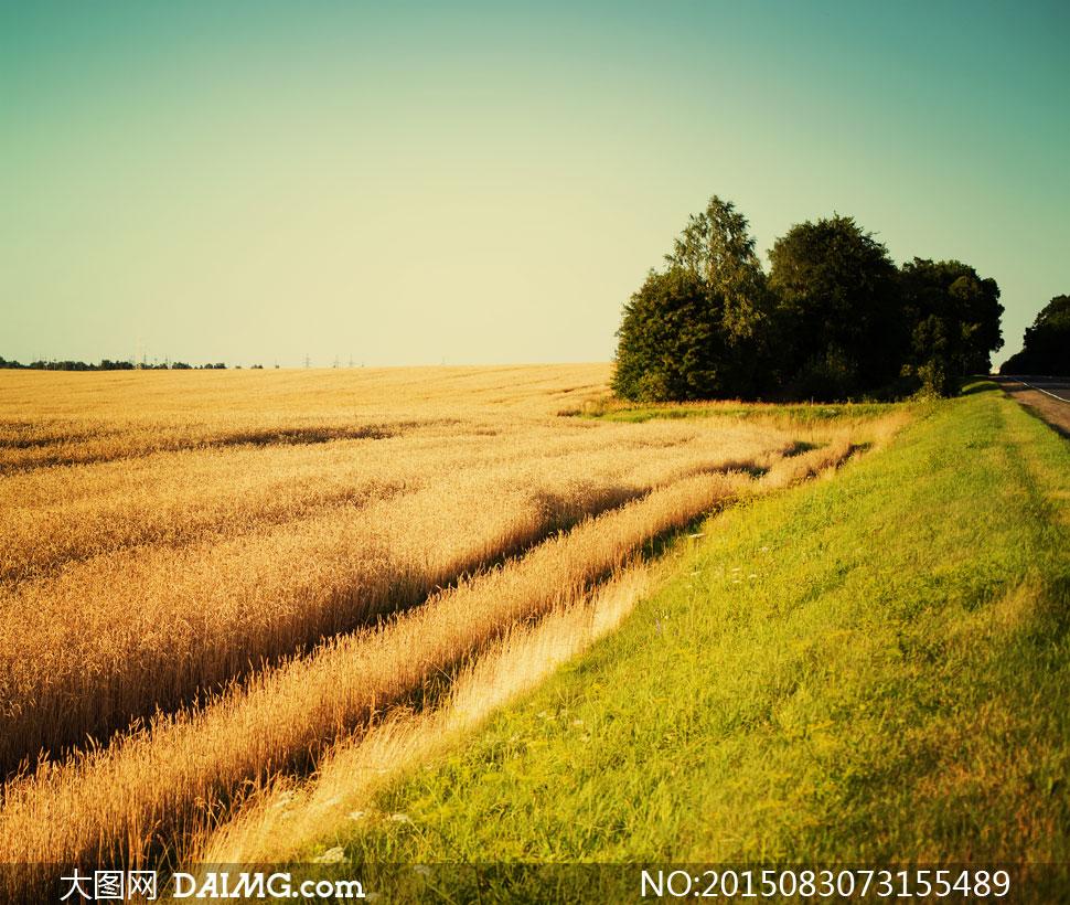 路边的成熟的麦田庄稼摄影高清图片