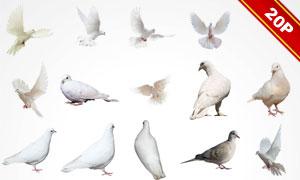 形态各异鸽子等飞鸟图层叠加图片V1