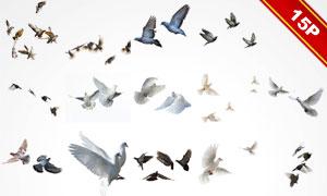 形态各异鸽子等飞鸟图层叠加图片V2