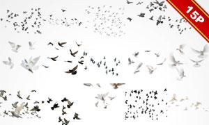 形态各异鸽子等飞鸟图层叠加图片V3