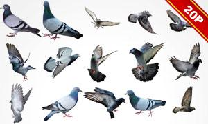 形态各异鸽子等飞鸟图层叠加图片V4