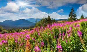 阳光下的紫色野花摄影图片