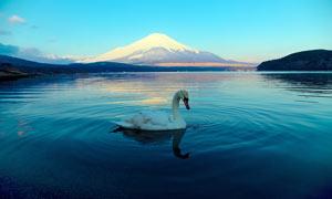 湖里的天鹅美景摄影图片