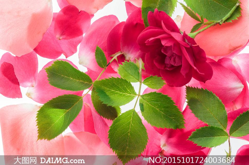 关 键 词: 高清大图图片素材摄影近景特写木板鲜花花朵叶子花瓣绿叶