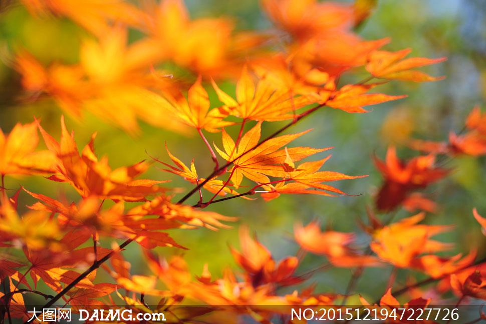 秋天树枝上的黄色树叶特写高清图片