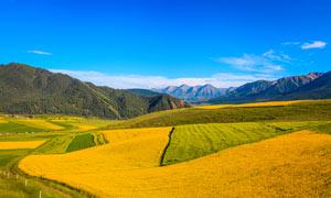 蓝天下的山坡油菜花种植园摄影图片