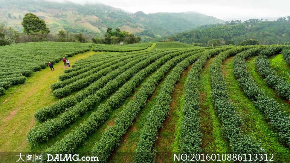 关 键 词: 高清大图图片素材摄影自然风景风光茶园绿茶茶叶种植园