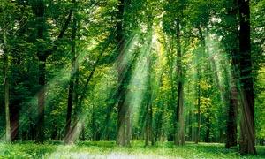 早晨树林阳光四射美景风景摄影图片