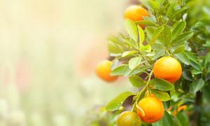 果树上的桔子近景特写摄影高清图片