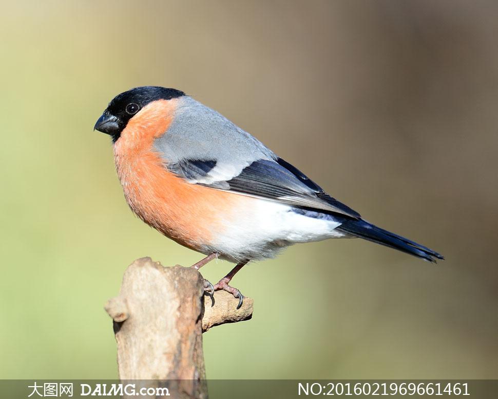 红腹灰雀近景微距特写摄影高清图片         站在木头上的