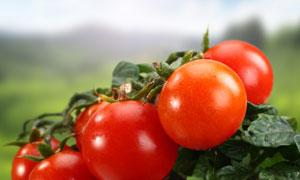 藤蔓架上的西红柿特写摄影高清图片