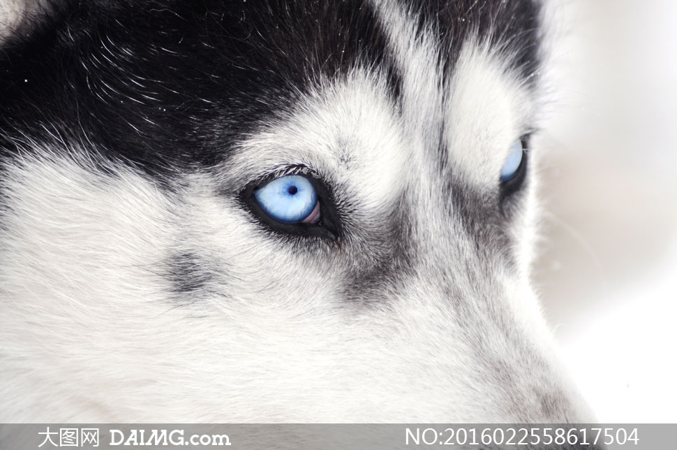 蓝眼睛哈士奇头部特写摄影高清图片