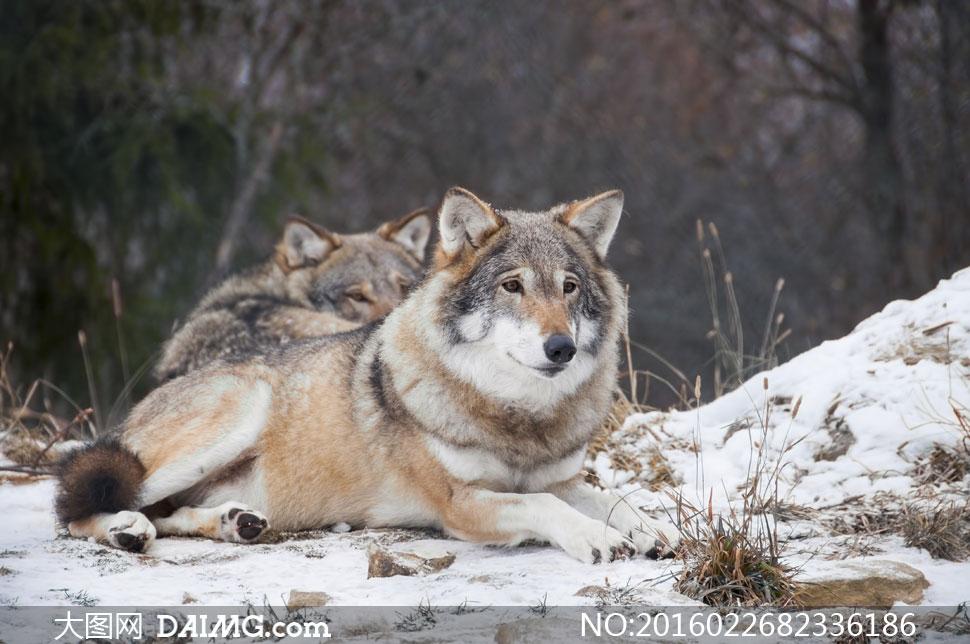 靠在一起休息的两只狼摄影高清图片
