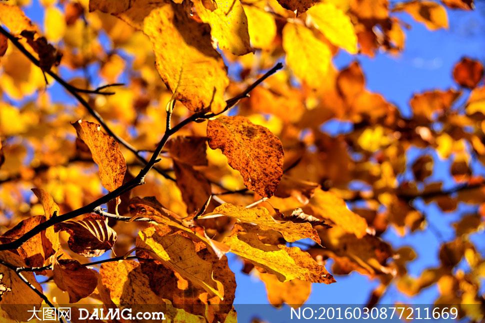 被秋色染黄的秋天树叶摄影高清图片