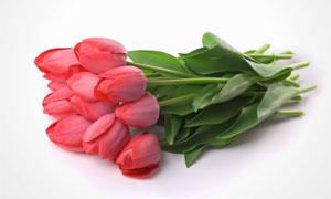 红色的郁金香花朵特写摄影高清图片