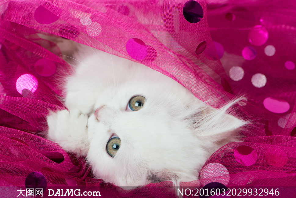 睁着圆圆眼睛的波斯猫摄影高清图片         趴在礼物盒上的小