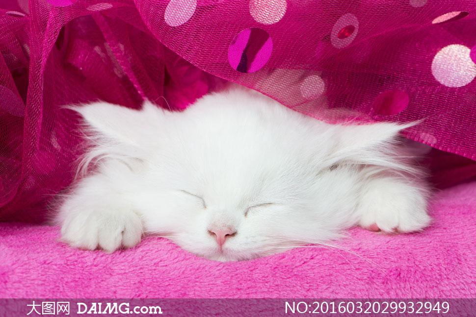 萌宠可爱宠物小猫猫咪红色玫红色波斯猫白猫睡觉熟睡