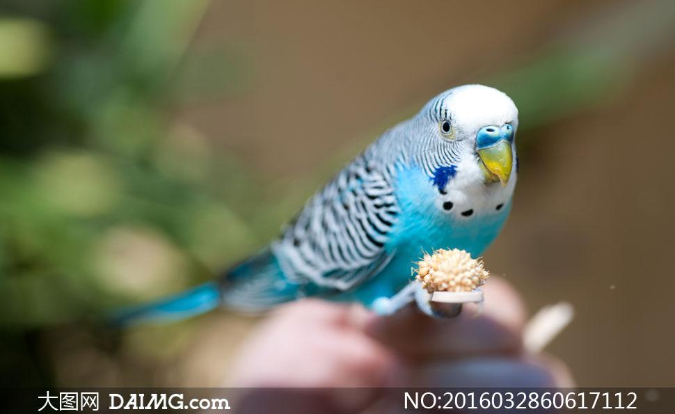 一只可爱的小鹦鹉特写摄影高清图片