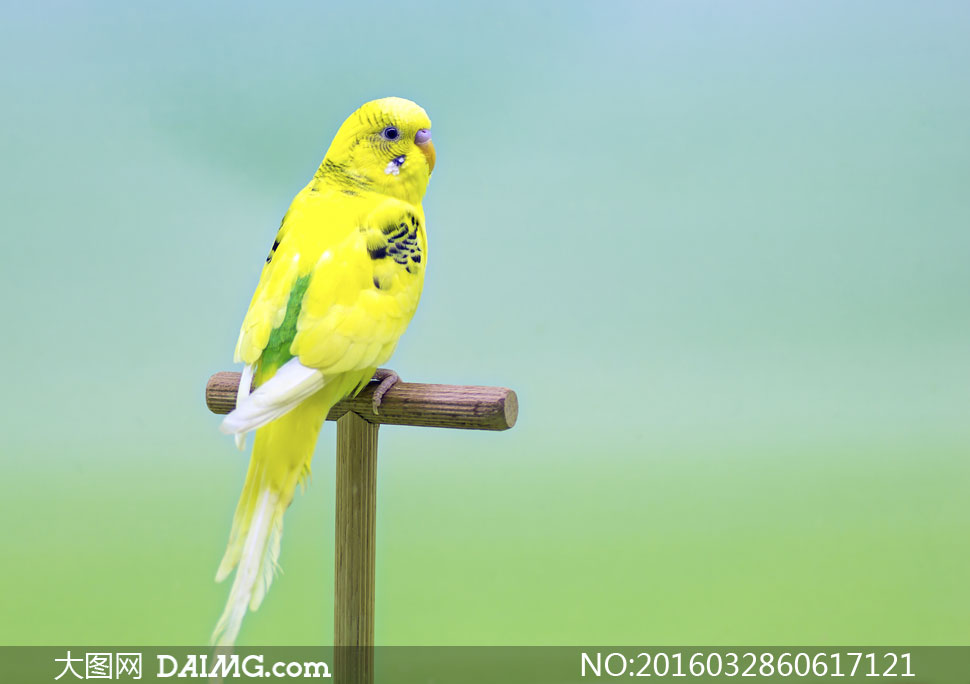 黄色虎皮鹦鹉近景特写摄影高清图片