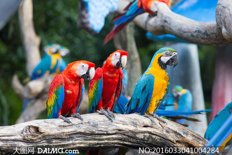 树枝木头上的鹦鹉特写摄影高清图片