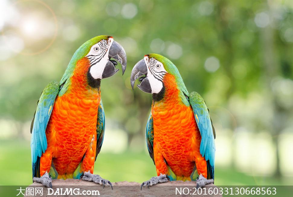 两只个头差不多的鹦鹉摄影高清图片