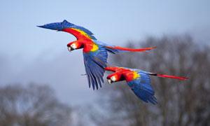 在展翅翱翔的两只金刚鹦鹉高清图片