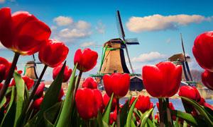 风车房与红色郁金香花摄影高清图片