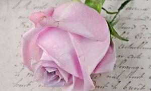 欧式镜框与粉红色玫瑰花朵高清图片