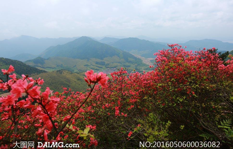 山顶唯美杜鹃花摄影图片 - 大图网设计素材下载