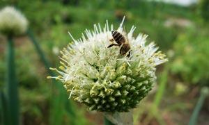正在葱花上采蜜的蜜蜂摄影图片
