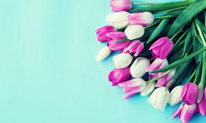 紫色与白色的郁金香花摄影高清图片
