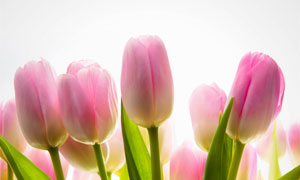 鲜艳的郁金香花朵特写摄影高清图片