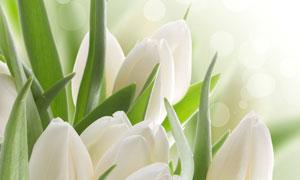 白色郁金香花近景特写摄影高清图片