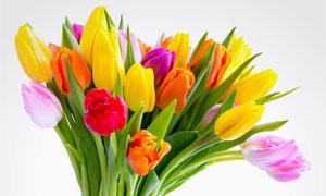 粉红色与黄色的等郁金香花高清图片