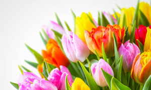 几种颜色的郁金香花朵摄影高清图片