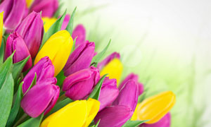 黄色与紫色的郁金香花摄影高清图片