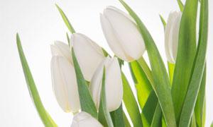 白色的郁金香花朵特写摄影高清图片