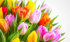 粉红色的与黄色郁金香花朵高清图片