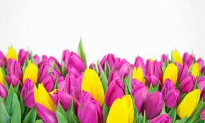 混在一起的鲜艳郁金香摄影高清图片