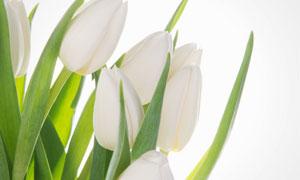 白色的郁金香鲜花特写摄影高清图片