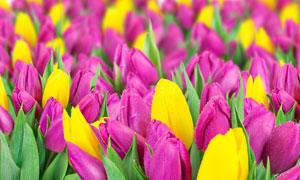 紧密混在一起的郁金香花朵高清图片