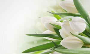 白色郁金香花近景微距摄影高清图片