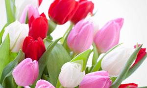 粉红色与红色的郁金香花束高清图片