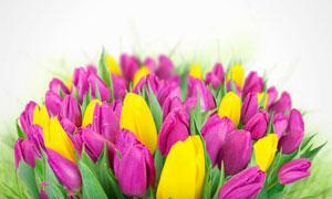 挂着水滴的鲜艳郁金香花束高清图片