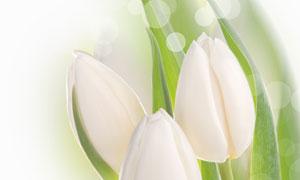 白色郁金香花散景微距摄影高清图片