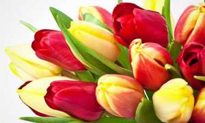 花瓶里的红色郁金香花摄影高清图片